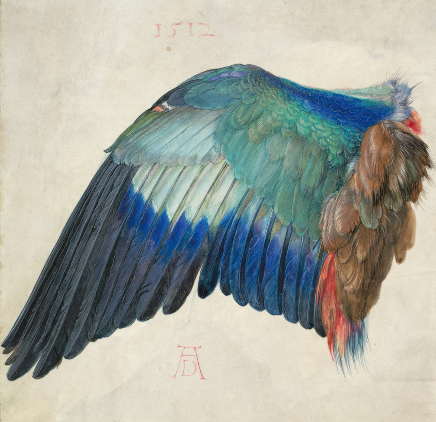 Left Wing of a Blue Roller, by Albrecht Dürer. A new exhibition on the artist opens at the Albertina, in Vienna, on September 20.