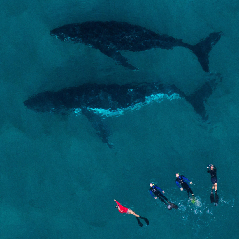 A group of divers swim alongside two humpback whales in the Ningaloo Reef near Coral Bay in Western Australia, 2017.